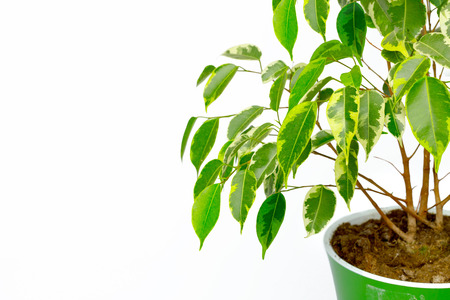 Potted house plant isolated in white background 版權商用圖片
