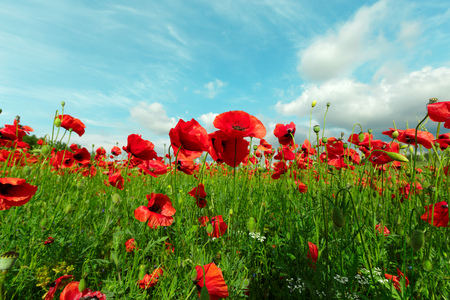 red poppy flowers in a field background