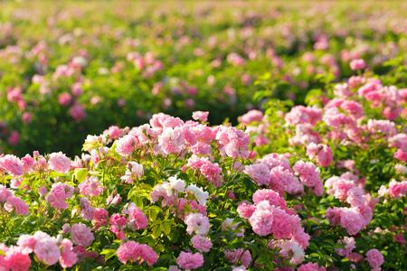 Primer plano de rosal rosa sobre fondo de campo
