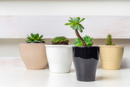 Small succulent plants in pots in home interior Stock Photo