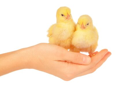 Female hands holding little chick on white background. creative photo.