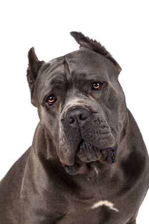 Cane Corso dog on white background. Close up.