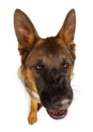 Cute German shepherd looking up isolated on white background. Close up. Stockfoto