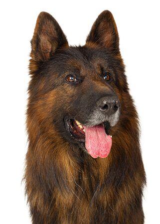 Long-haired German shepherd dog portrait studio isolated on white background. Close up.