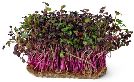 Micro green sprouts of radish isolated on white Banque d'images