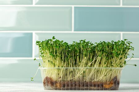 Micro green sprouts growing in tray in kitchen against mint tile wall