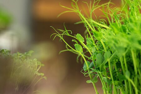 Young green sprout of micro green on blurred background