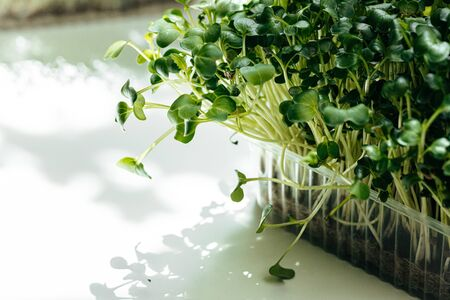Micro green in tray on table close up Standard-Bild