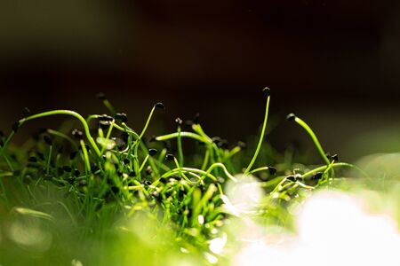 Salad micro greens growing bunch close up on blurred background Stockfoto