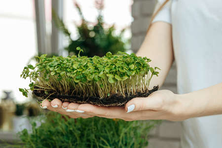 Hands of a woman holding trays with micro green. close up. Reklamní fotografie