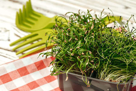 Potted micro green on wooden table Zdjęcie Seryjne
