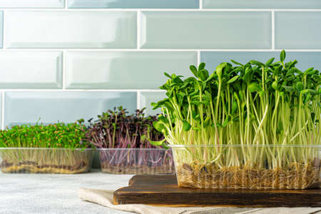 Micro green sprouts growing in tray in kitchen against mint tile wall. Healthy eating Stok Fotoğraf