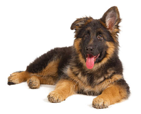 German shepherd puppy isolated on white background