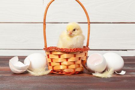 beautiful little chicken in nest Zdjęcie Seryjne