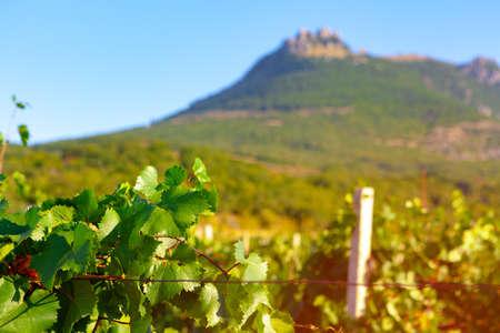 Grapes bush leaves in a vineyard close up Foto de archivo