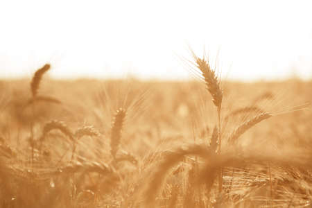 Ears of golden wheat on field, close up
