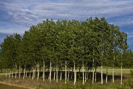 albero: Betulle