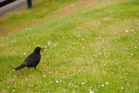 pupation: Blackbird with a worm