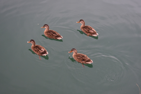Ducks on Manfredonia