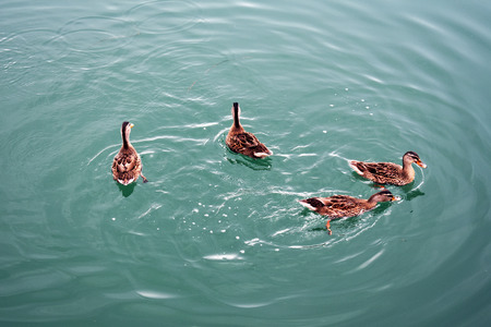 Ducks on Manfredonia harbor