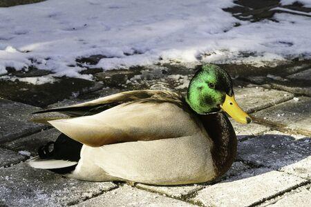 Duck in Toronto