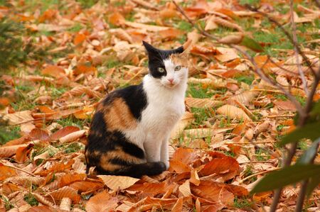 autumn colour: Calico Cat
