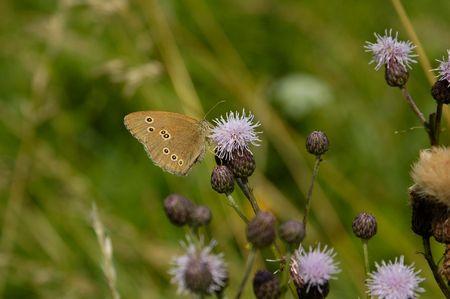 hyperantus: Ringlet butterfly on thistle flower Stock Photo