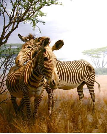 Love between Zebras Фото со стока