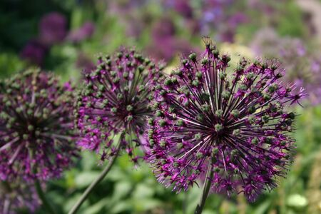 Bright purple Alliums in full bloom Stock Photo - 5161770
