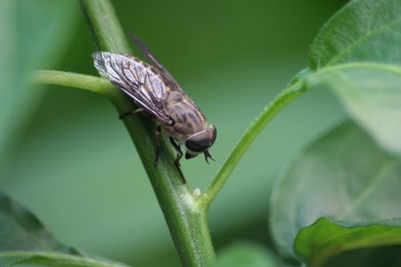 Large brown horsefly on a chilli plant stem Stock Photo - 5161769