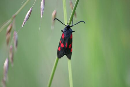 Narrow-Bordered, Five-Spot Burnet
