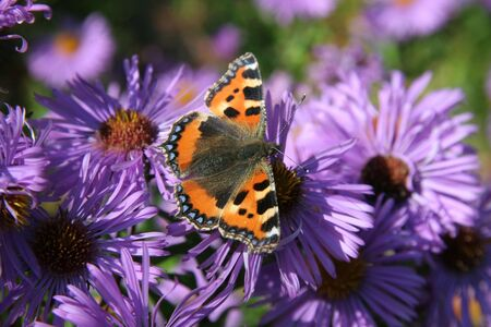 Red Admiral Butterfly on Purple Flowers