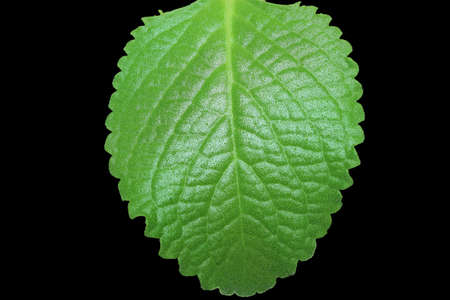 green mint leaves isolated on black