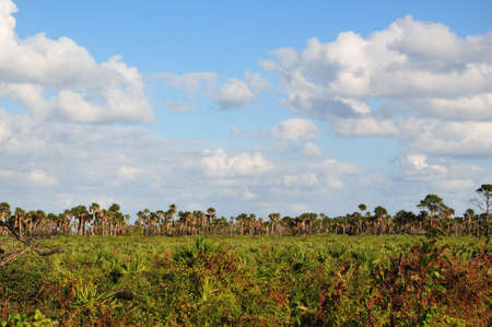 A Florida landscape shot consisting of a field of palmetto trees followed by a tree line of Palm tress on the horizon photo