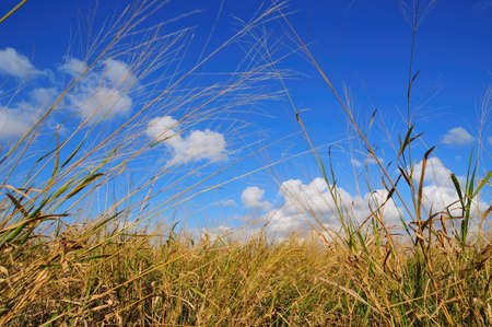 a view shot of blue sky and white clouds while standing in extremely tall grass in Florida photo