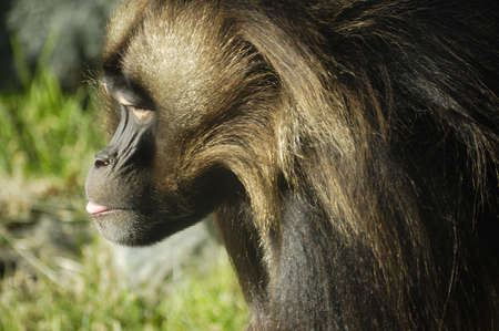 Side profile of an ape with blurred grass in back
