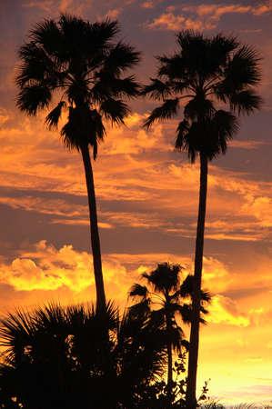 Palm bomen afgetekend tegen een levendige sunset sky  Stockfoto