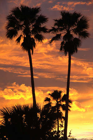 palm: Palm trees silhouetted against vibrant sunset sky Stock Photo