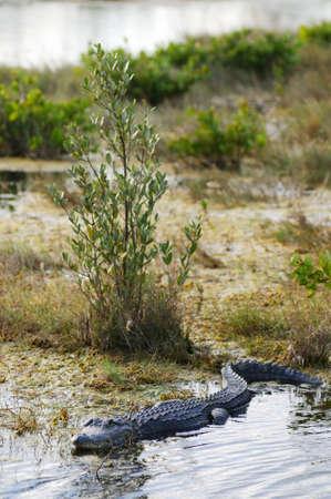Alligator haar weg door sommige ondiepe water Stockfoto