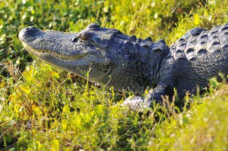 Een alligator tot in de zon op de bank in de wetlands