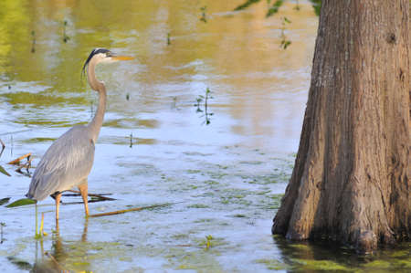 cypress tree: Photo of a Great Blue Heron wading in shallow water next to a cypress tree