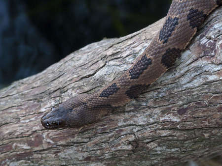 slithering: A Florida Brown Water Snake slithering down a log Stock Photo