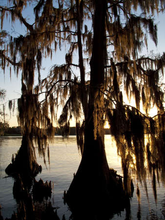 Cypress trees growing out of a lake and backlit by setting sun photo