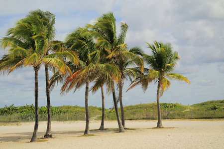 Cluster of Palm Trees on Miamis South Beach