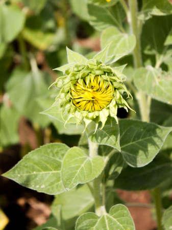 nurseries: Close-up of sun flower against a blue sky Stock Photo