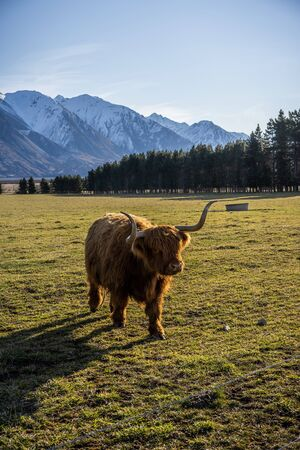 New Zealand Highland Cattle on the farm in New Zealand