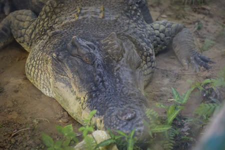 isolated shot of a large crocodile resting inside the cage at Jong's Crocodile Farm, Kuching, Sarawak, Malaysia Stockfoto