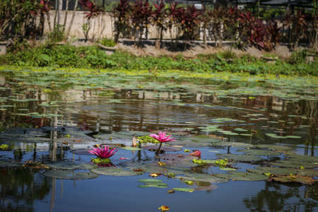 Lotus or water lily at a pond