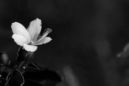 monochroom: Monochrome hibiscus  Stockfoto