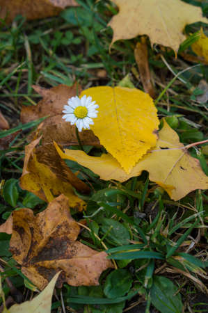Beautiful white daisy with yellow heart among yellow, brown and green leaves in the grass. Beautiful nature scene at fall season. Autumn background. Imagens